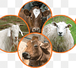 png-transparent-sacrifice-animal-eid-al-adha-akika-kurbanı-bursa-kurban-dog-like-mammal-eid-aladha-animal-thumbnail